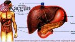 Karaciğer Kendini Ne Zaman Yeniler?
