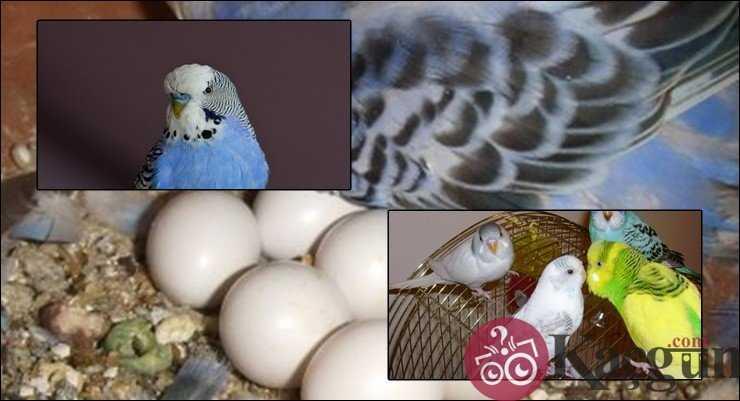Muhabbet Kuşu Yumurtası Kaç Günde Çıkar?